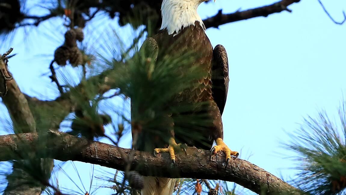 Pygargues à tête blanche : l'aigle mascotte des Etats-Unis se porte bien mieux