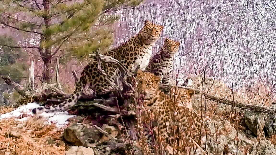 En Russie, de rares images d'une femelle léopard de l'Amour et ses petits