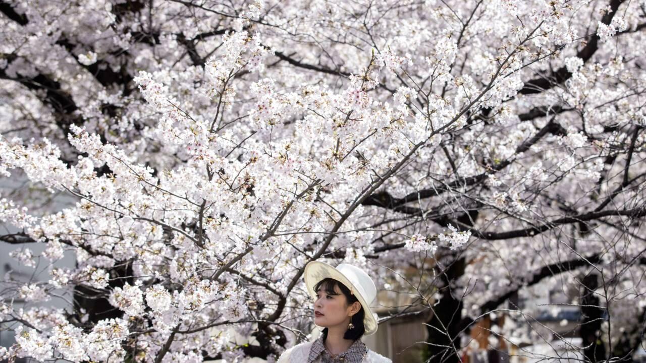 Japon: la tentation des cerisiers face aux mises en garde sanitaires