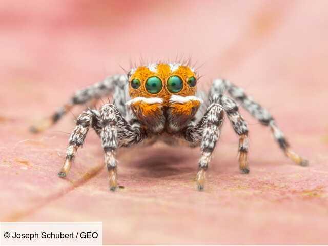 Australie : découverte d'une nouvelle araignée baptisée Nemo d'après le dessin animé