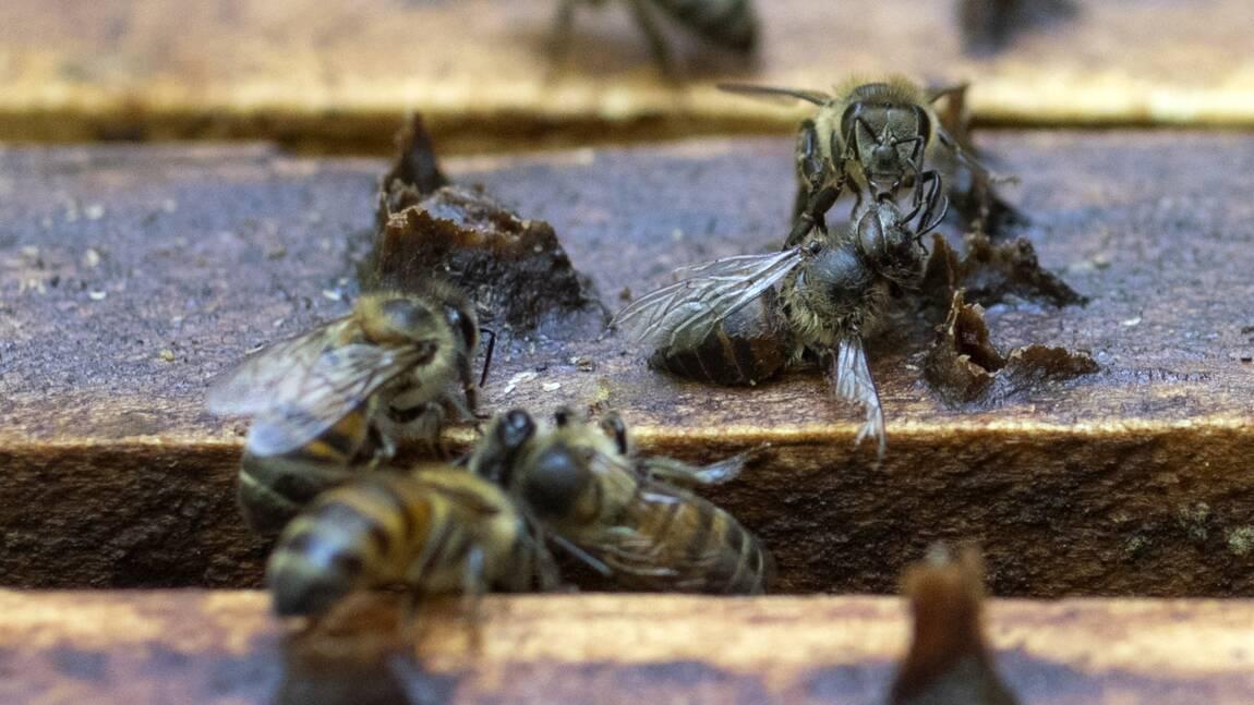 En Colombie, suspension du fipronil, pesticide qui empoisonne les abeilles