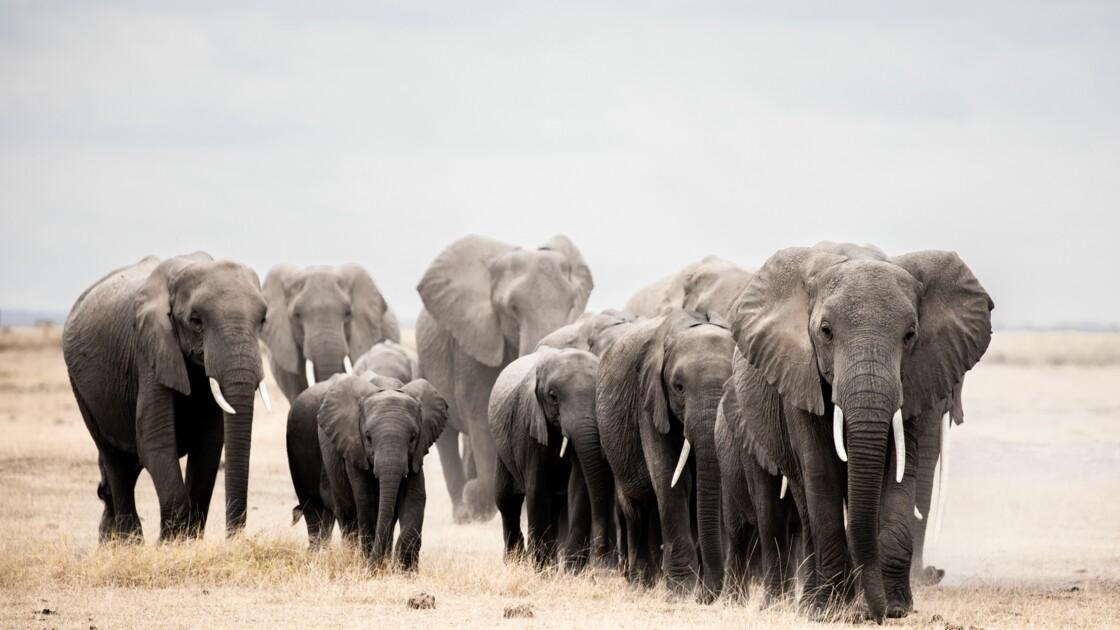 Les éléphants africains occuperaient moins de 20% de leur habitat favorable