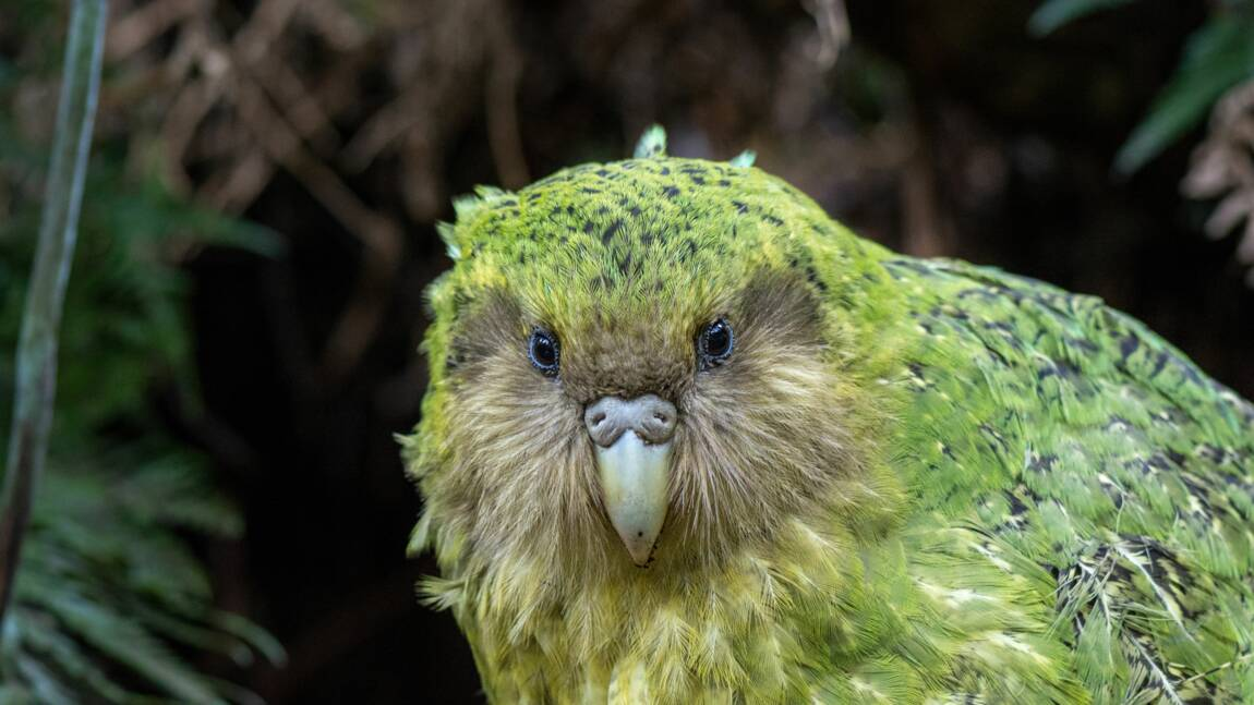 Le kakapo, ce perroquet néo-zélandais qui est incapable de voler