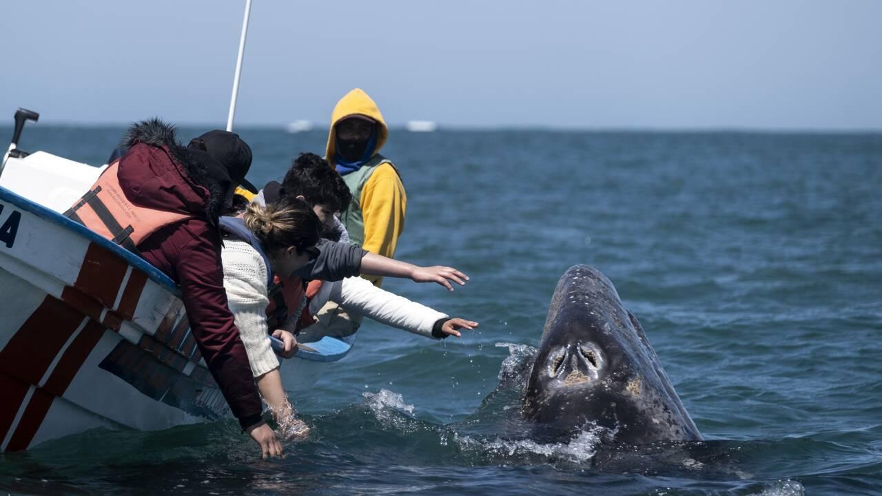 Au Mexique, boom de l'observation des baleines pour oublier la pandémie