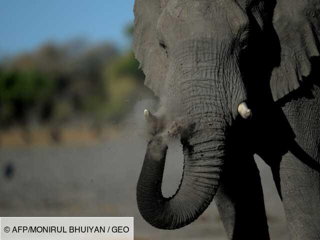 Botswana: ouverture de la saison 2021 de chasse à l'éléphant