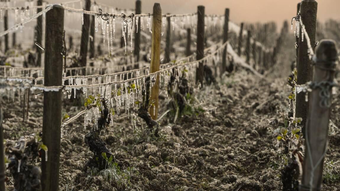 """Gel dans le vignoble français: le Bordelais redoute un bilan """"amer"""""""