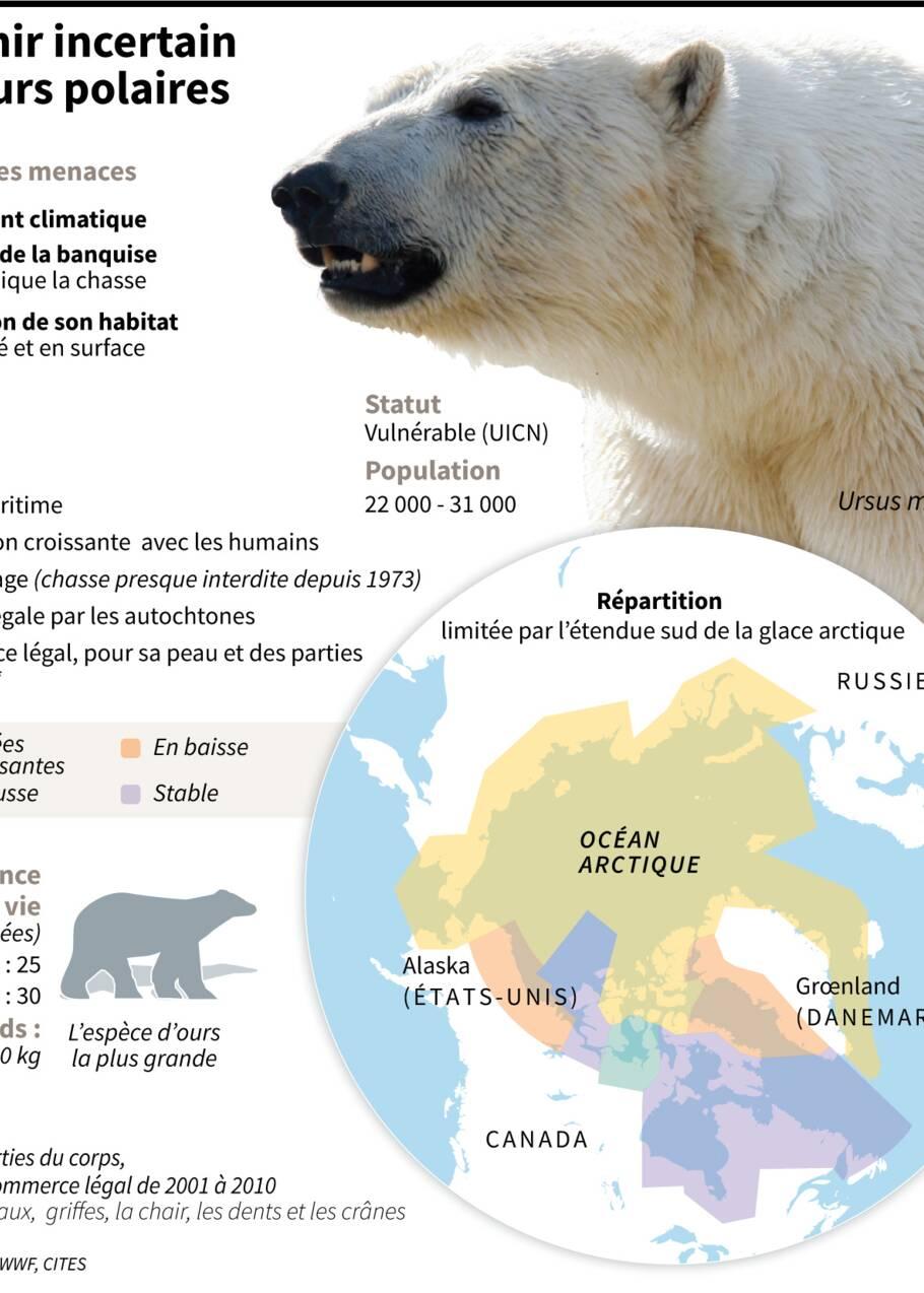 En manque de phoques, les ours blancs se tournent sans succès vers les oeufs de canard