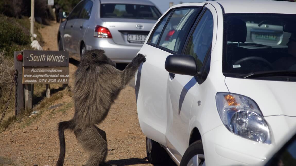 Fin de cavale pour un babouin sans foi ni loi du Cap en Afrique du Sud