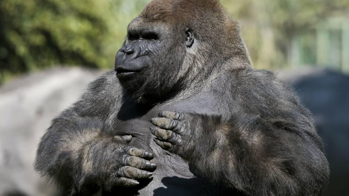 Pourquoi les gorilles mâles se tapent-ils la poitrine ?
