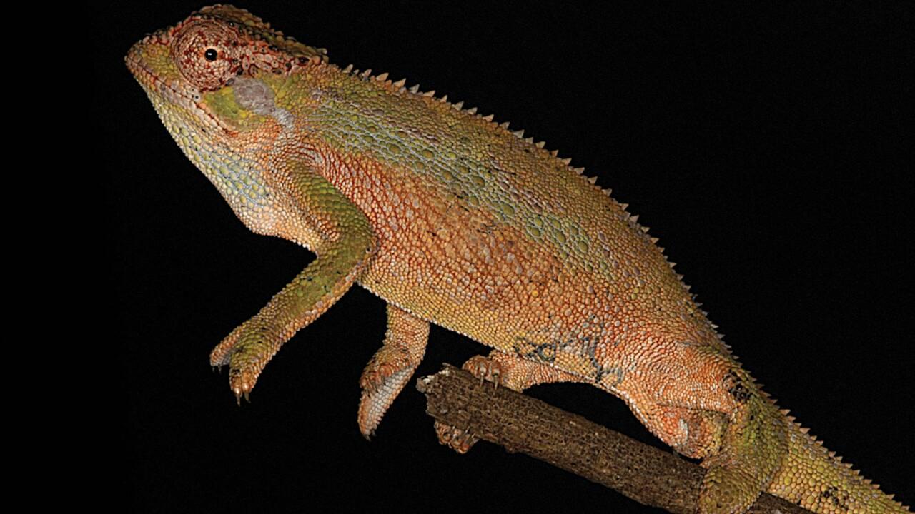 Une nouvelle espèce de caméléon découverte dans les montagnes d'Ethiopie