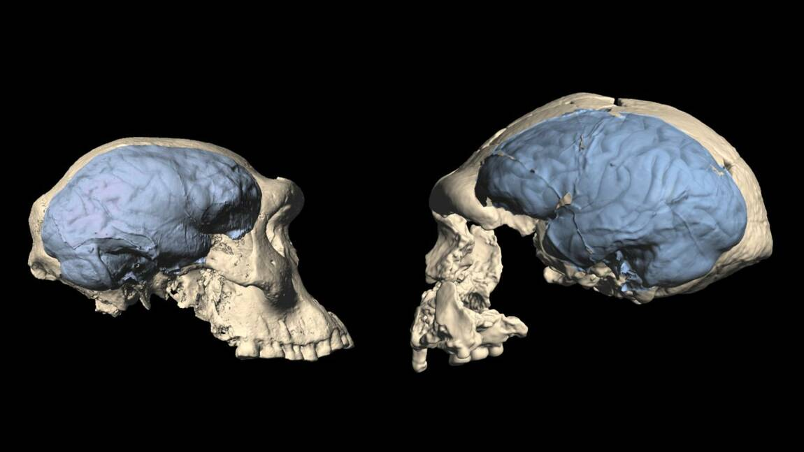 Le cerveau humain moderne serait apparu il y a moins longtemps que prévu