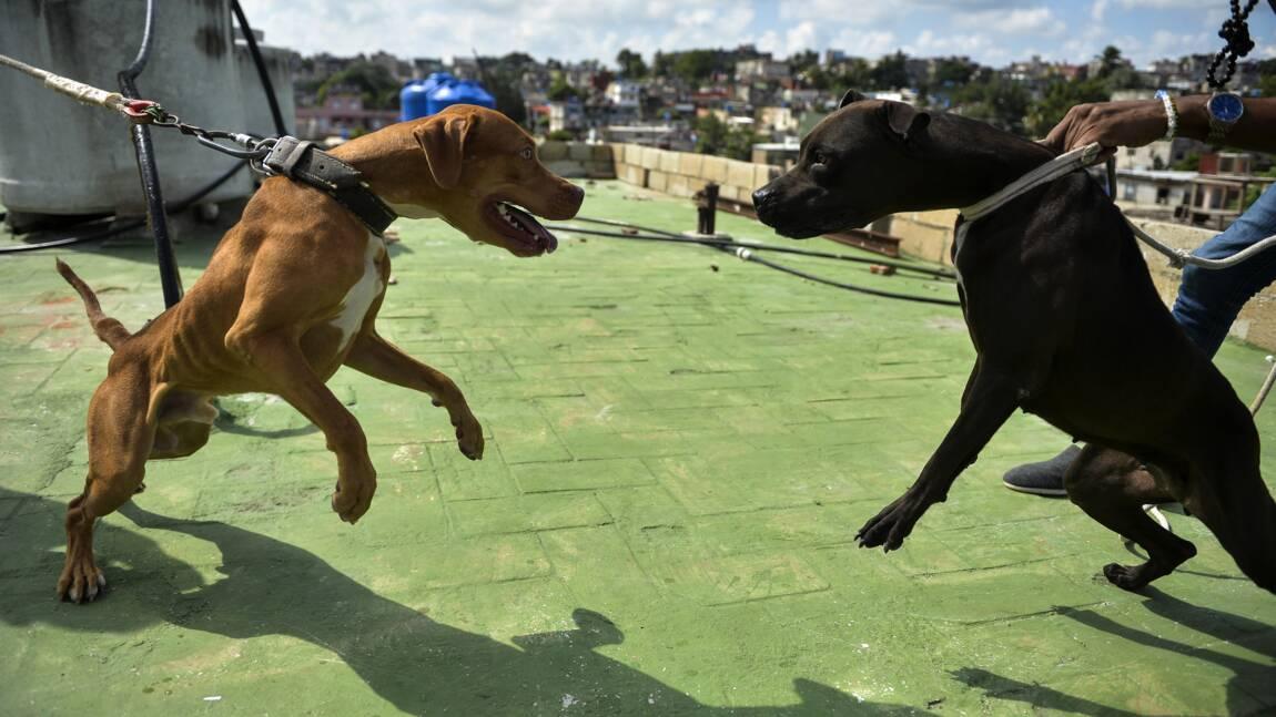 Cuba: les combats de coqs épargnés de la loi sur le bien-être animal