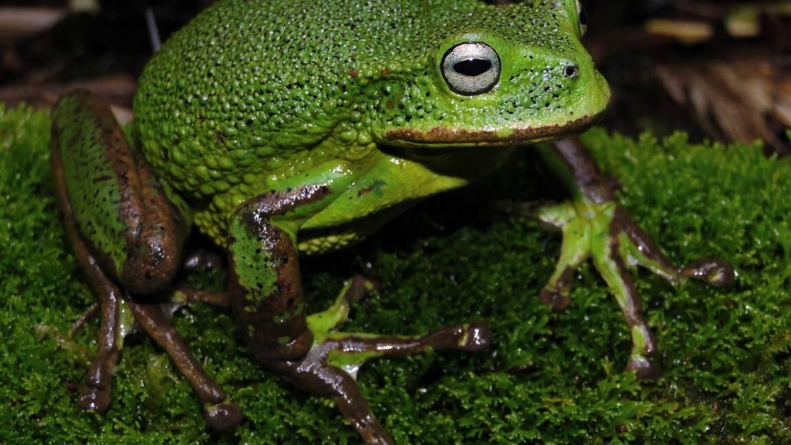 Pérou : une nouvelle espèce de grenouille découverte en forêt amazonienne