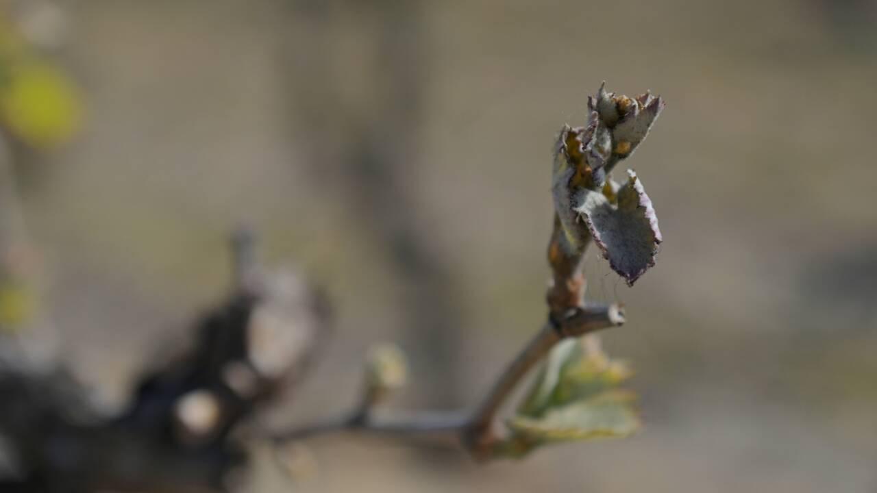 Vignes et vergers ravagés par le gel: Castex annonce un milliard d'euros d'aides