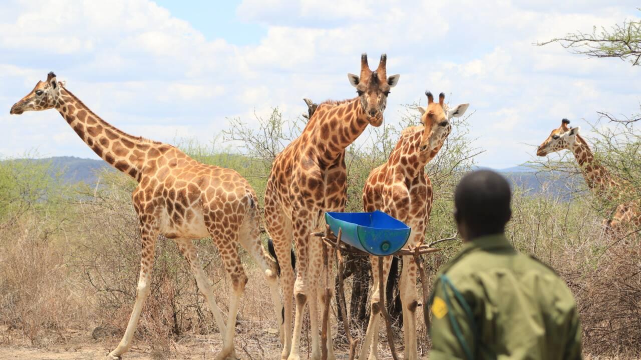 Kenya : toutes les girafes qui étaient piégées sur une île sont maintenant en lieu sûr