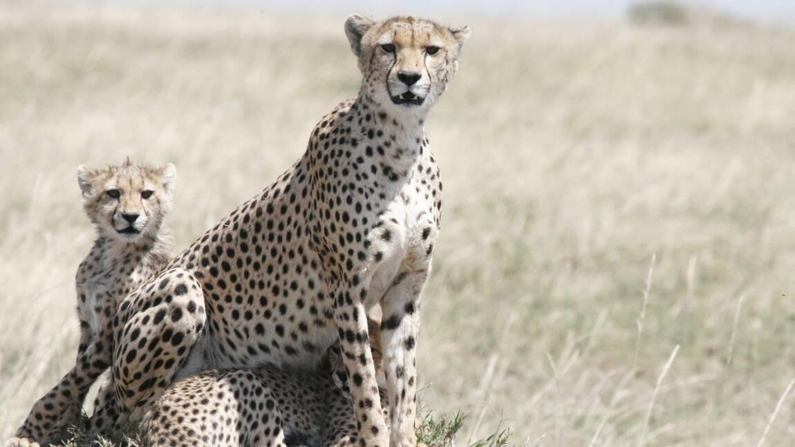 Tout ce qu'il faut savoir sur le guépard