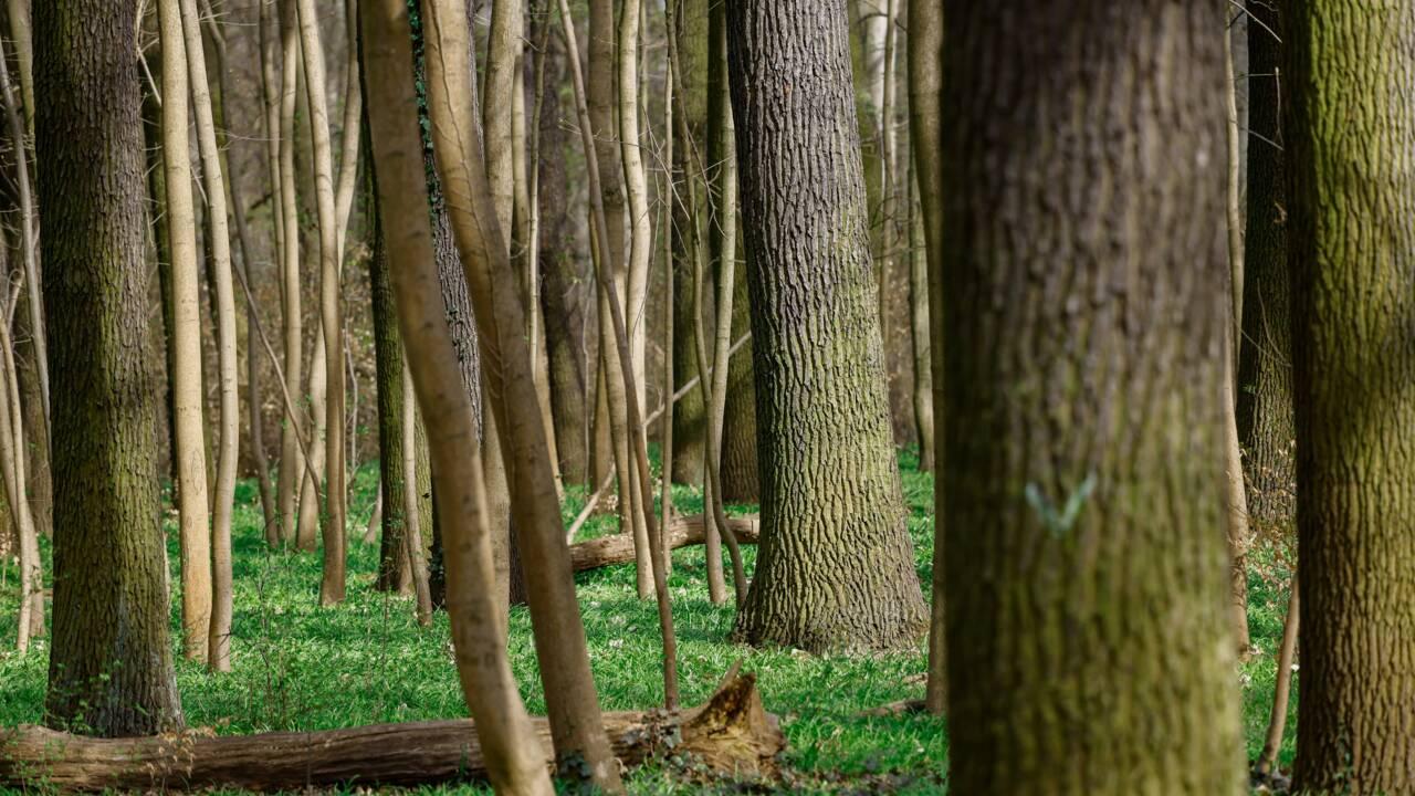Les arbres victimes de la pollution sonore, même quand le silence revient