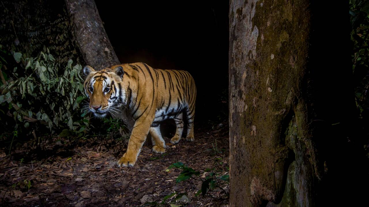Tigres, léopards... Comment Emmanuel Rondeau est devenu photographe de félins rares