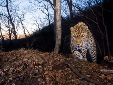 Tigres, léopards... Les félins rares sous l'œil du photographe animalier Emmanuel Rondeau