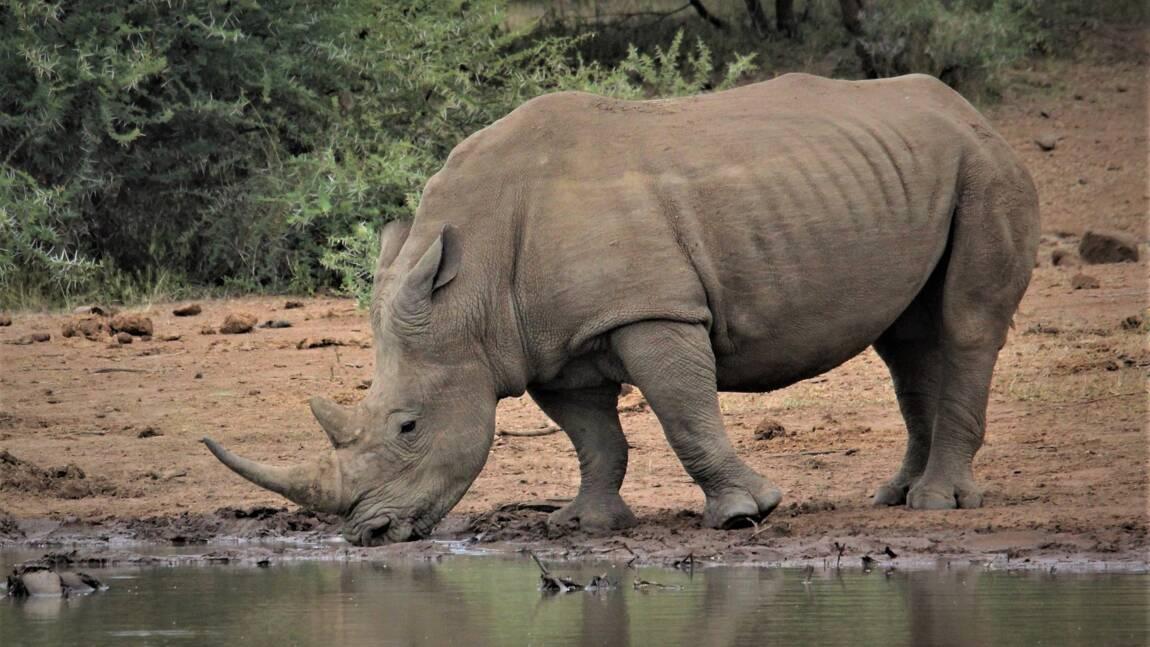 Tout ce qu'il faut savoir sur le rhinocéros