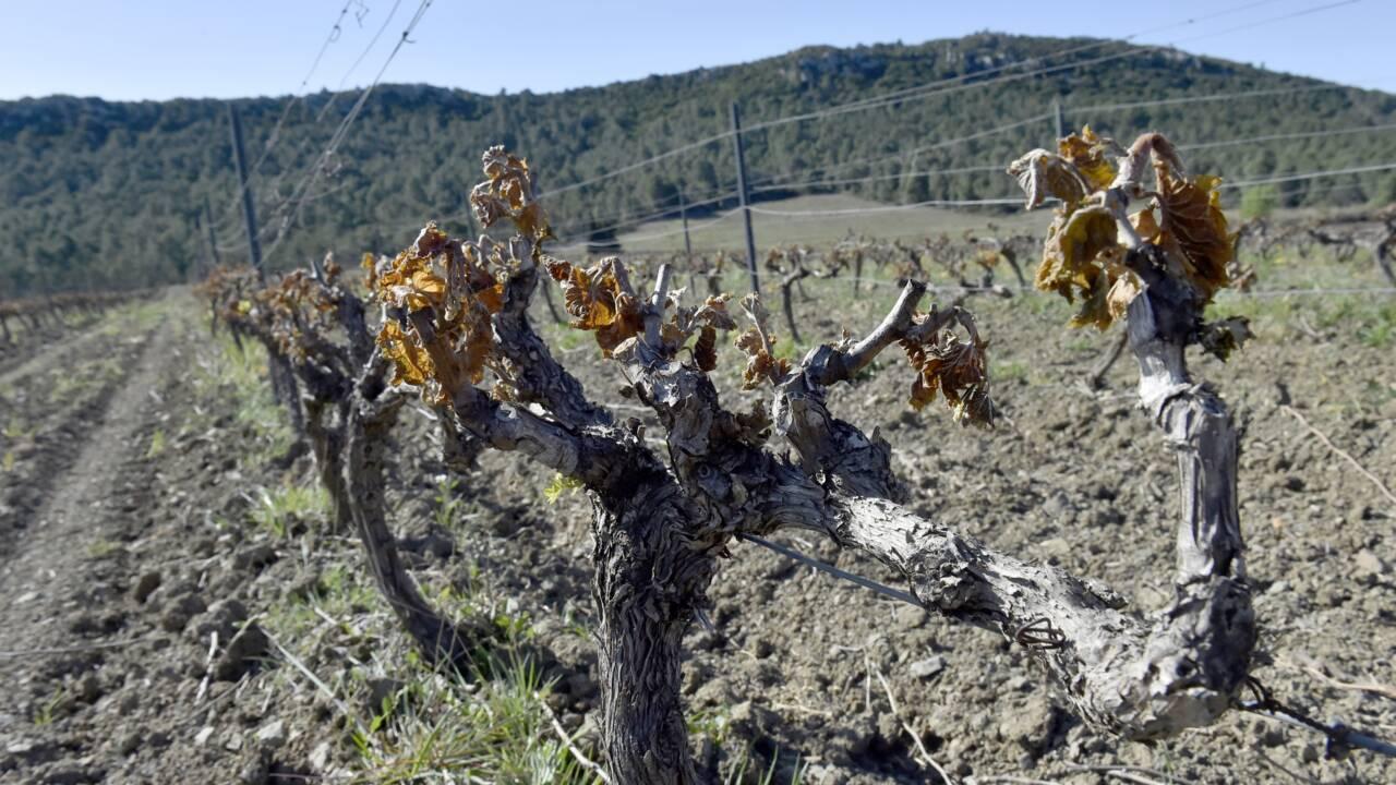 Gel: au moins 2 milliards d'euros de manque à gagner pour la viticulture