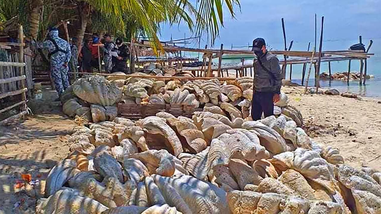 Philippines : saisie record de 200 tonnes de coquillages géants