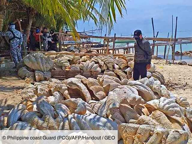 Philippines: saisie record de 200 tonnes de coquillages géants