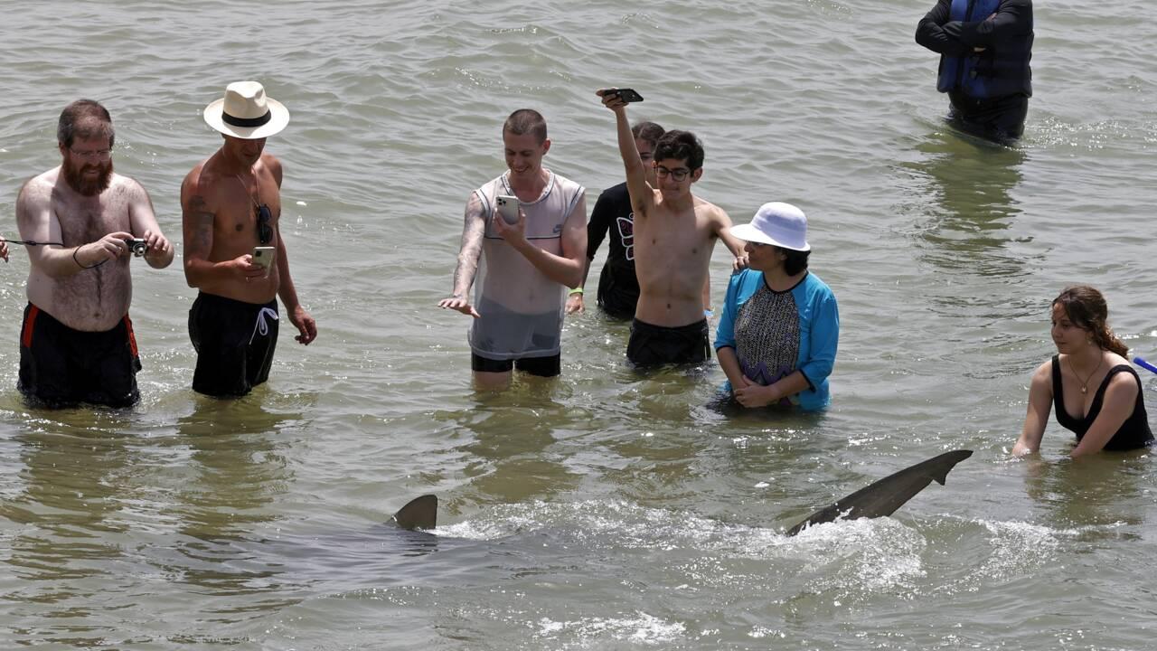 En Israël, des requins affluent sur la côte... pour le plus grand bonheur des baigneurs