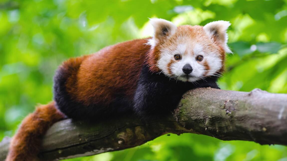Tout ce qu'il faut savoir sur le panda roux