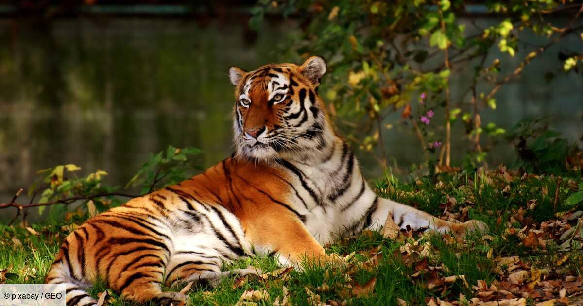 Tout ce qu'il faut savoir sur le tigre
