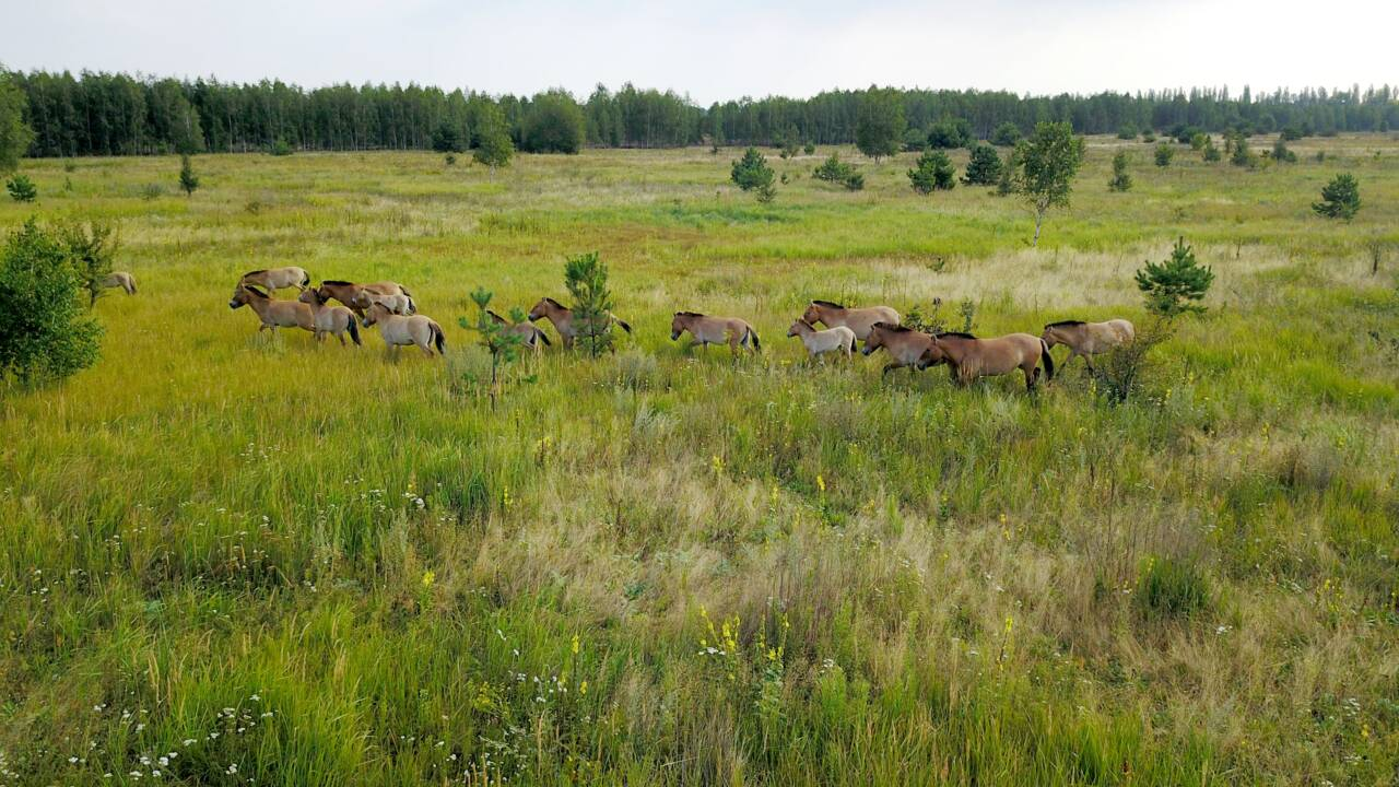 Le cheval de Przewalski, une espèce rare qui colonise la zone d'exclusion de Tchernobyl