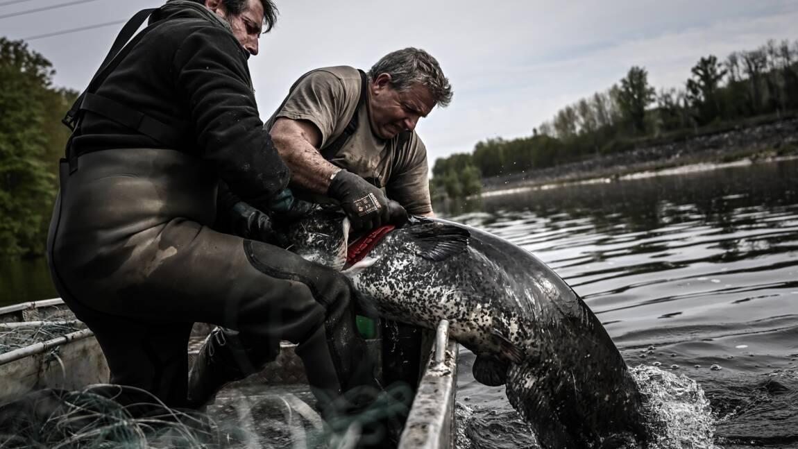 """""""Monstre"""" des rivières, le silure est-il vraiment un danger pour la biodiversité ?"""