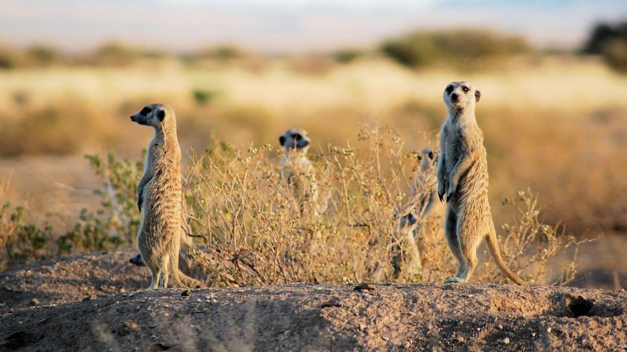 Le suricate, petit animal à l'organisation sociale fascinante