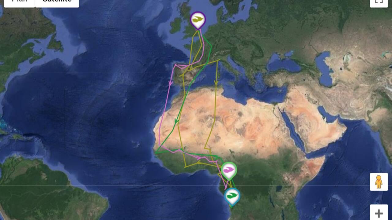 En cinq ans, ce coucou a parcouru plus de 80000 kilomètres entre le Royaume-Uni et l'Afrique