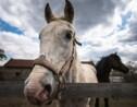 La retraite des étalons dans le sanctuaire pour chevaux de Serbie