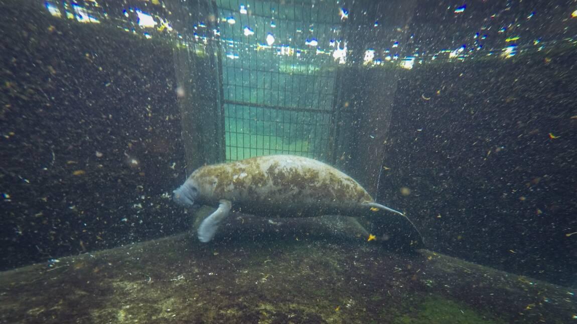 En Floride, l'inquiétante augmentation des morts de lamantins