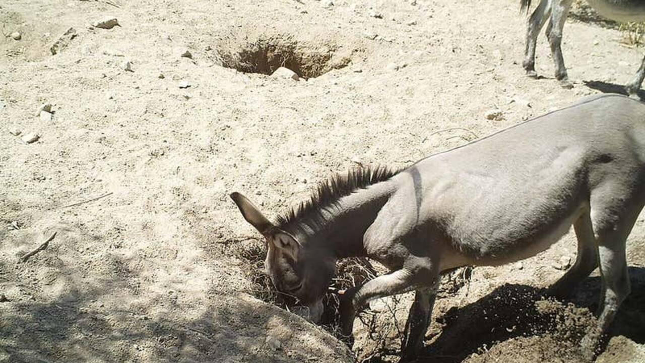 Dans le désert, les chevaux et les ânes creusent des puits qui aident les autres espèces