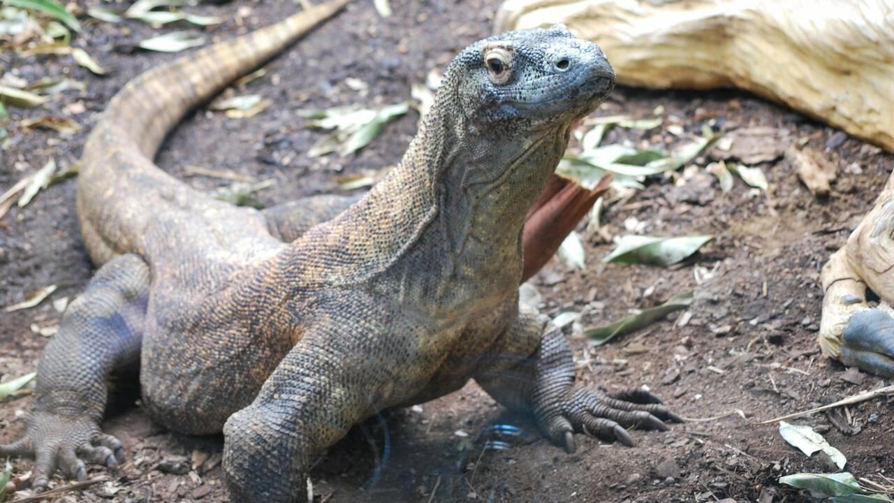 Tout ce qu'il faut savoir sur le dragon de Komodo