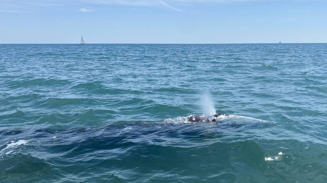 Wally, la baleine grise égarée en Méditerranée escortée par des sauveteurs vers l'Espagne