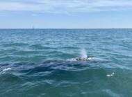 Pourquoi la baleine grise égarée en Méditerranée a peu de chances de retrouver son milieu ?