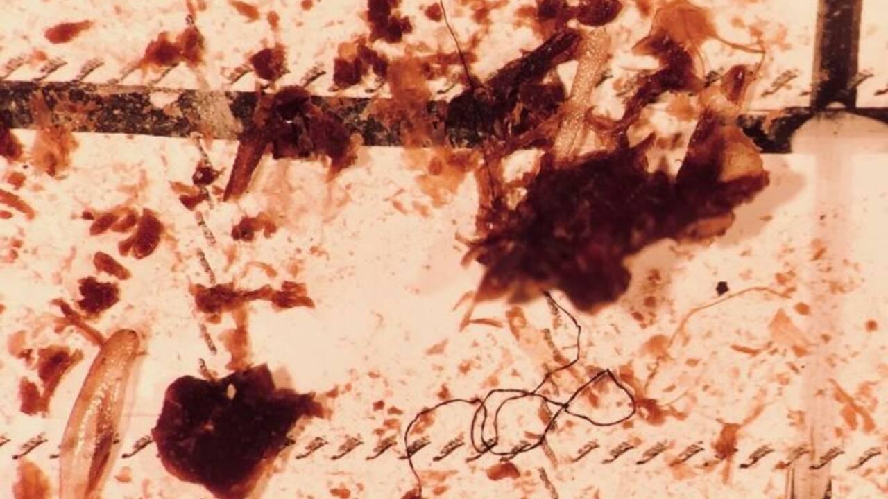 Les poissons d'eau douce avalent des microplastiques depuis les années... 1950
