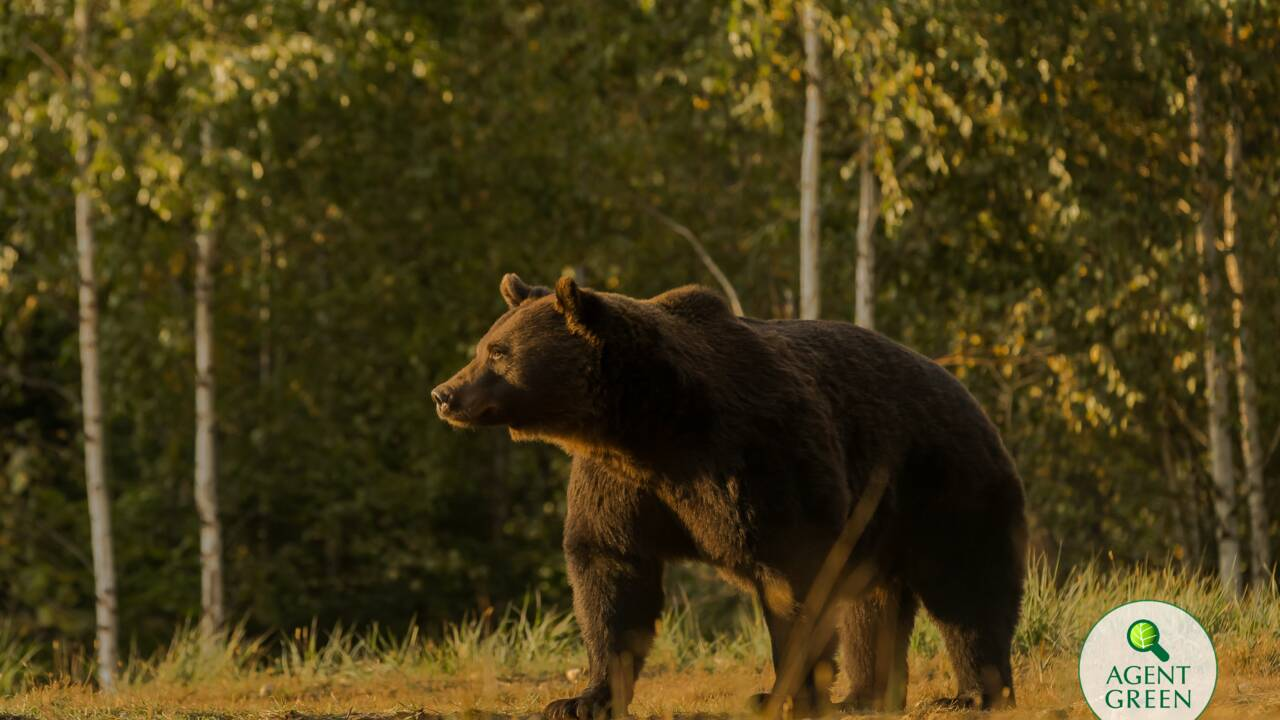Un prince du Liechtenstein accusé d'avoir abattu le plus grand ours de Roumanie