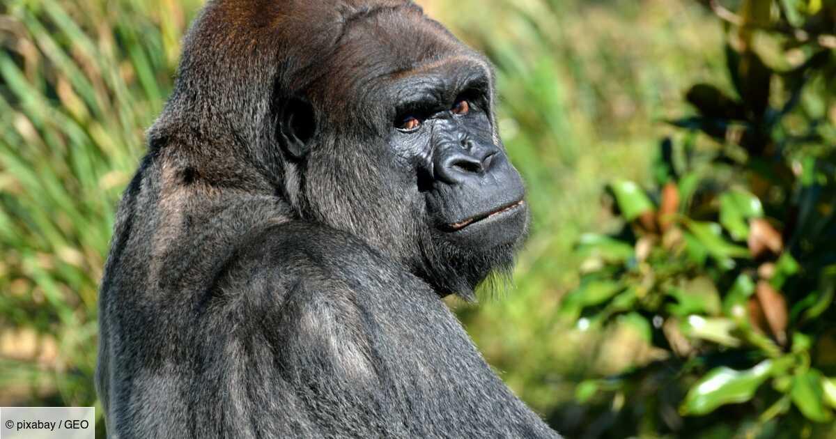 Les 5 infos à savoir sur le gorille, le plus grand des primates