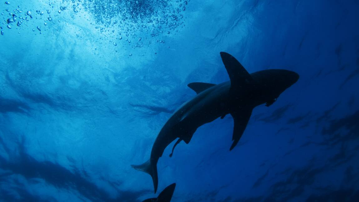 Les requins possèdent un GPS naturel en se repérant grâce au champ magnétique de la Terre