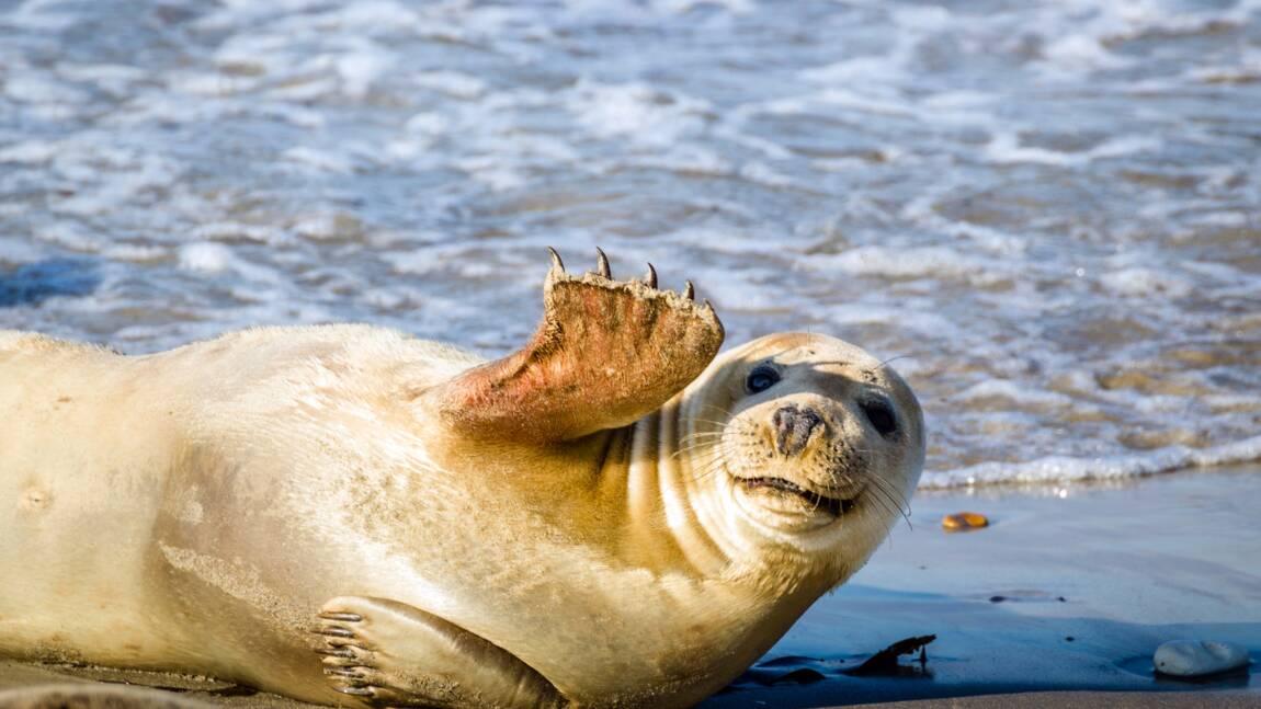 Brigade de protection des phoques recherche bénévoles pour cet été en Normandie