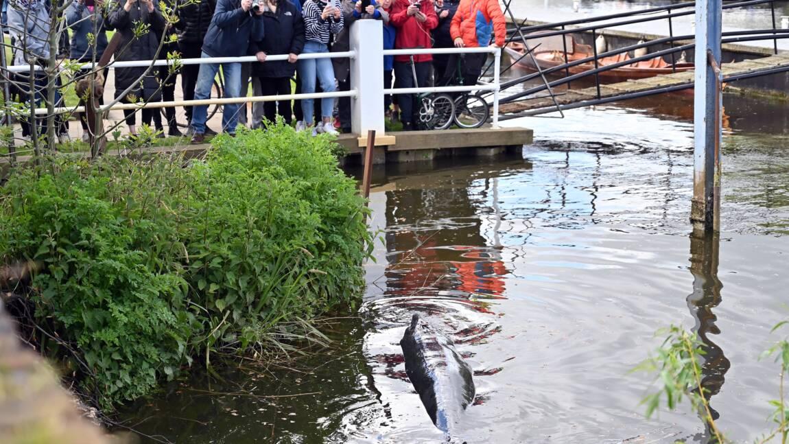 Londres : un baleineau de plus de 3 mètres s'égare dans une écluse de la Tamise
