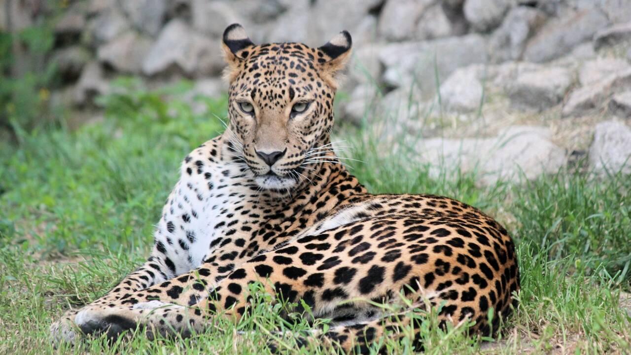 Chine : des léopards échappés d'un zoo sèment la panique