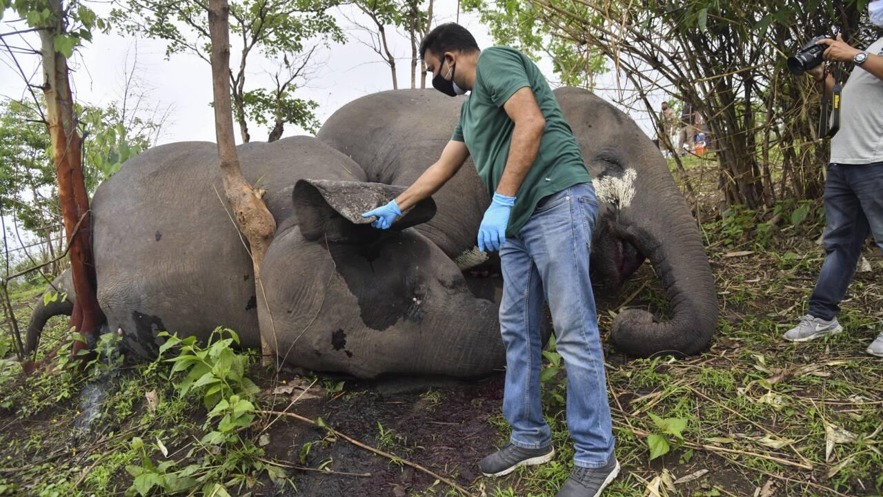 Inde : découverte d'au moins 18 dépouilles d'éléphants, a priori tués par la foudre