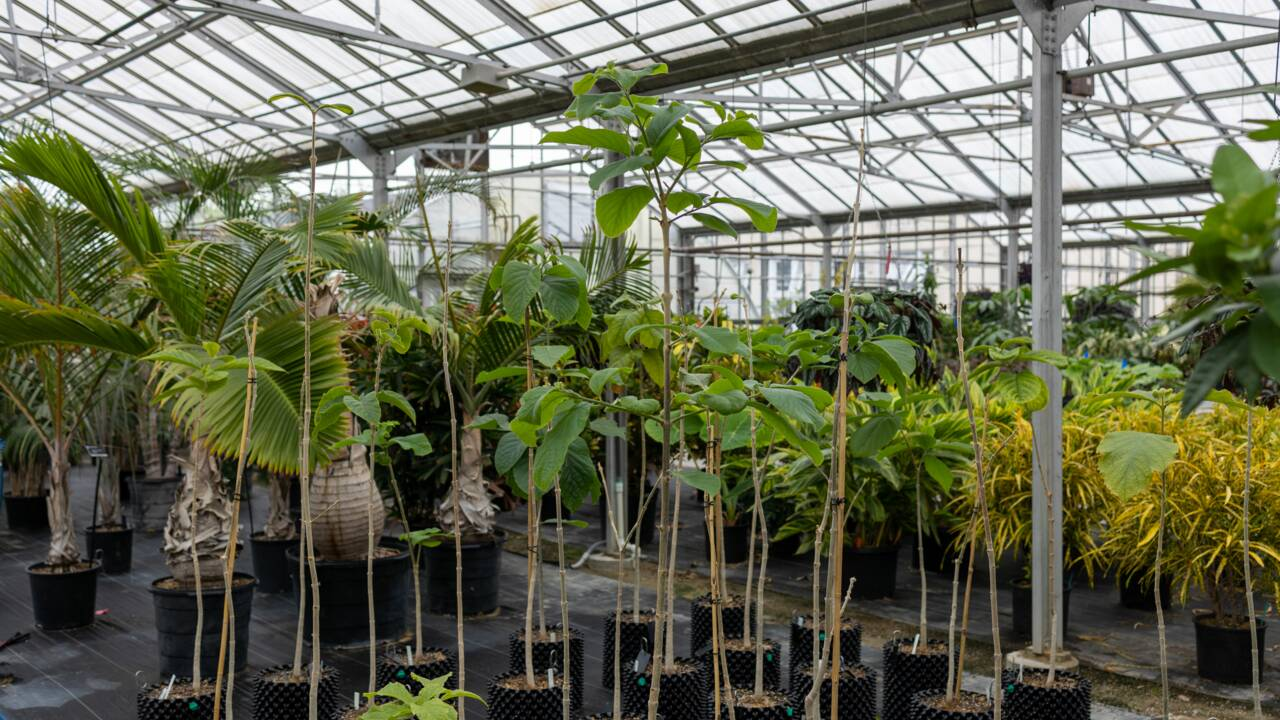 L'un des arbres les plus rares au monde a fleuri dans un jardin botanique du Missouri