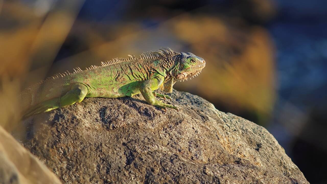 L'arrivée des colons européens en Guadeloupe a décimé la population de reptiles